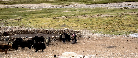 Here we see a Yak Farm on the way to Tso Moriri. Yak is the beast of burden in the entire Tibetan Plateau.