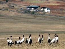Phobjikha Valley & the Black Necked Cranes ... pic from Internet