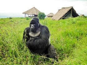 congolese-gorilla